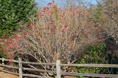 American Cranberry Bush (Viburnum trilobum) | by Distant Hill Gardens