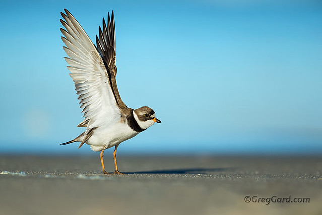 Semipalmated Plover showing its underwing feathers