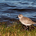 Flickr photo 'Black-bellied Plover (Pluvialis squatarola)' by: Mary Keim.
