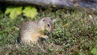 European ground squirrel in the vegetation   by Tambako the Jaguar