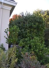 Morella californica - Western Bayberry clipped into a hedge