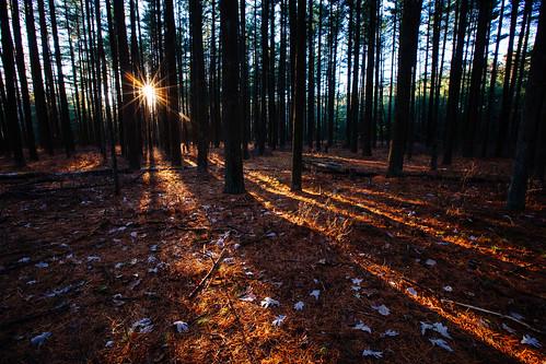 trees tree forest stand newjersey woods unitedstates nj pinelands goldenhour whitepine pinebarrens vcso sunstar bassriverstateforest tuckerton pinusstrobus canon1635l canon6d bassrivertownship fujivelvia100landscape