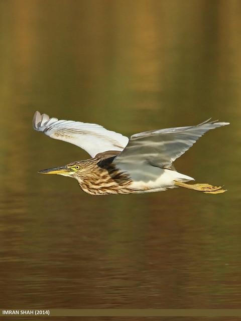 Indian Pond Heron (Ardeola grayii)
