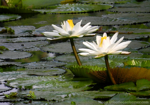 Water lilies in Shibpur Botanical Garden #Kolkata #BotanicGarden #2 | by moon@footlooseforever.com