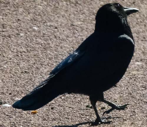 Carrion crow, head to one side