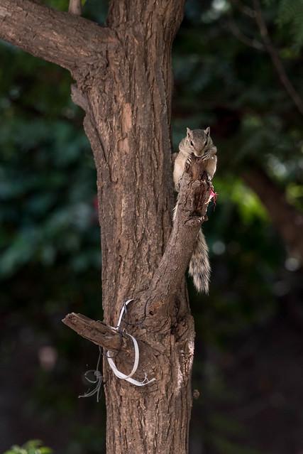 Squirrel OP