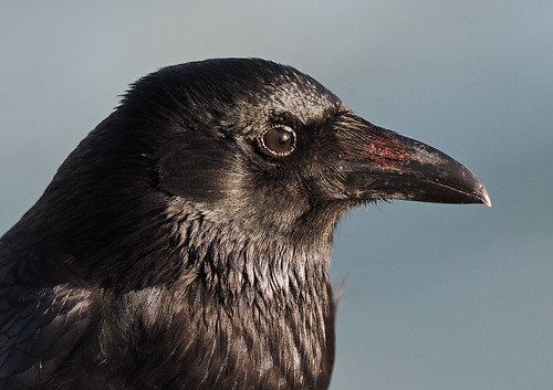 Carrion Crow | by Bengeo Photos