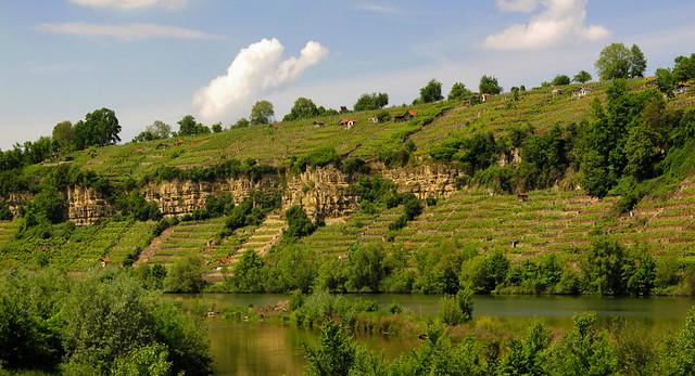 Vineyard at steep slope at the Neckar, Ludwigsburg, Baden-Württemberg, Germany