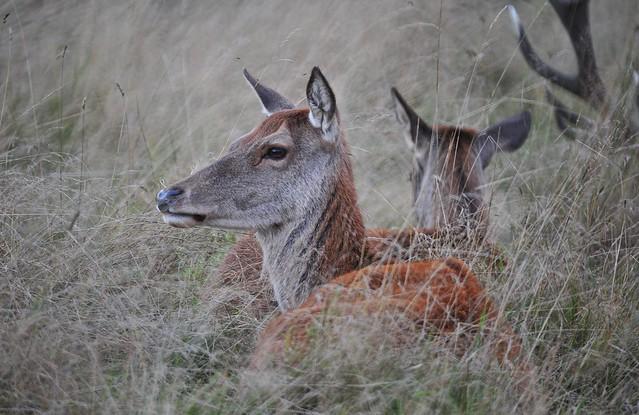 Red Deer