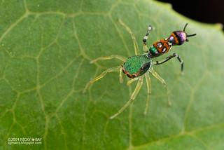 Wasp mimic jumping spider (Orsima ichneumon) - ESC_0039
