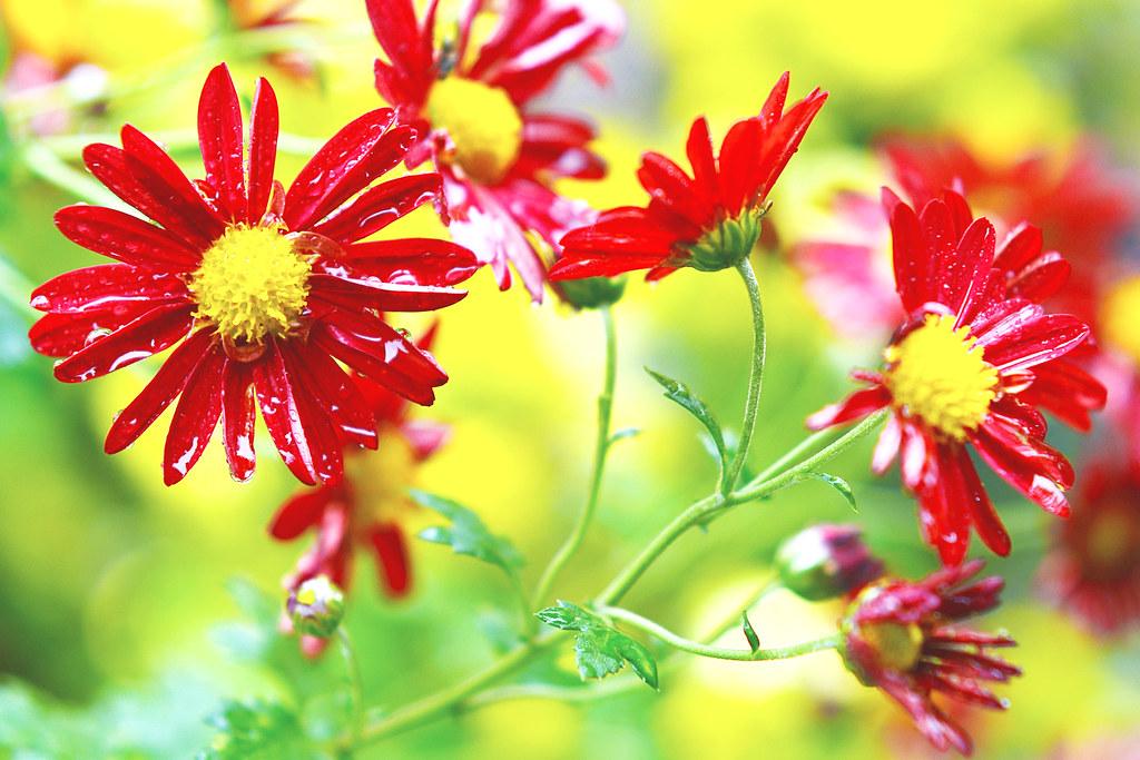 Red Florists' Daisy in The Rain / 雨に濡れる小菊(阪神の誉