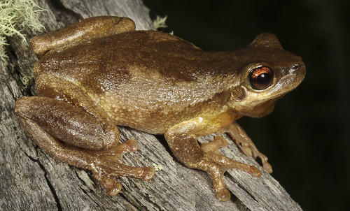 Bleating Tree Frog (Litoria dentata) | by Nick Volpe