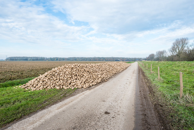 Harvested sugar beets waiting for transport