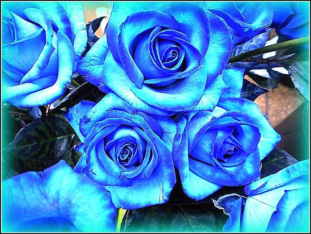 Blue Roses ..