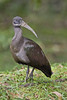 Hadeda Ibis - Bostrychia hagedash by Jono Dashper Wildlife