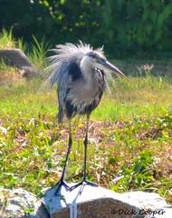 Resident Heron, © Dick Cooper
