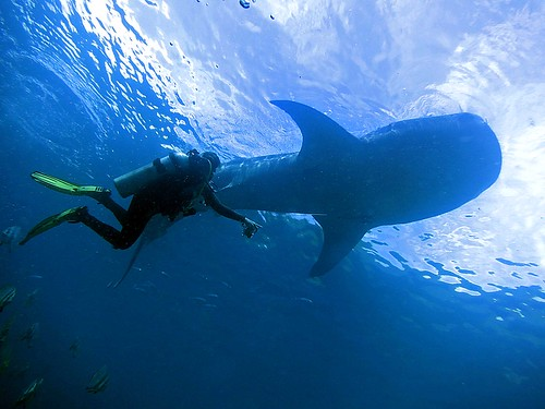 2014 11 Moalboal 11 Sharkey and diver | by lakshmioct01