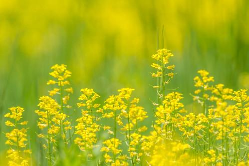 flower color green philadelphia nature yellow golden us flora nikon unitedstates pennsylvania goldenrod d7200