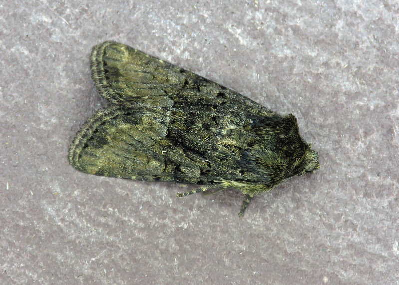 73.173 Marbled Minor - Oligia strigilis agg.