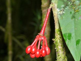 Annonaceae (Goniothalamus roseus) fruits