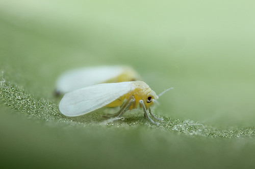 Whitefly magnification expt #4 | by Lord V