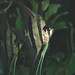 Pterophyllum scalare - Photo (c) James St. John,  זכויות יוצרים חלקיות (CC BY)