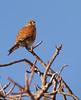 Madagascar kestrel (Falco newtoni), Isalo National Park by Niall Corbet