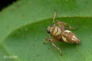 Leafhopper nymph (Coelidiinae) - DSC_9578