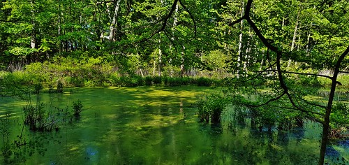 pasadena ponds aquaticplants downspark annearundelcounty pasadenamaryland marylandwetlands marylandswamps downsparkpond