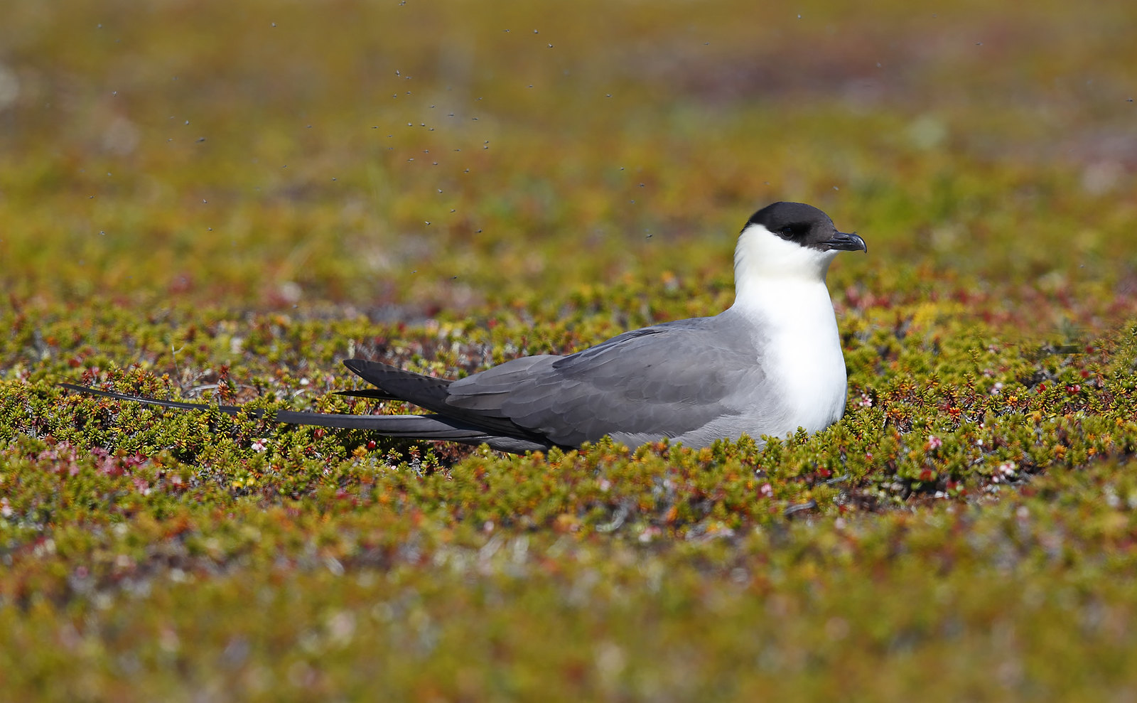 Long-tailed Jaeger [Skua]