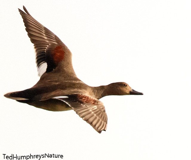Gadwall male flight