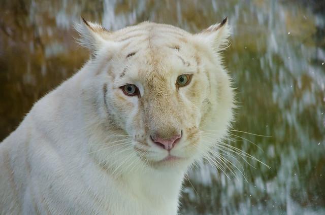Female White Tiger
