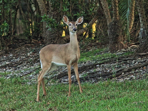 White-tailed one-eyed fawn 20150123
