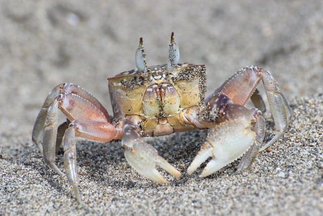 Painted Ghost Crab (Ocypode gaudichaudii)