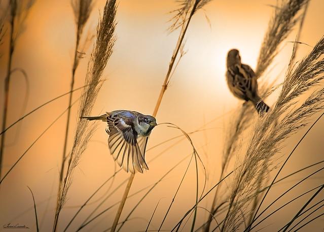 Gorrión común ( Passer domesticus )