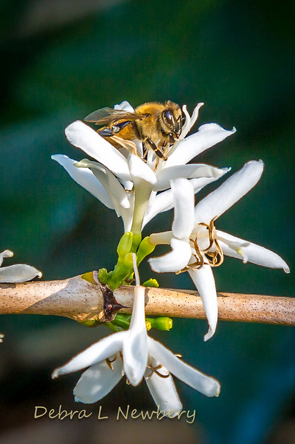 Bee on Coffee Blossom