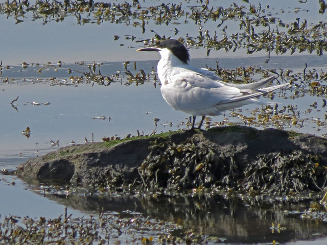 Sandwich Tern, Ardmore Point, Firth of Clyde, Scotland