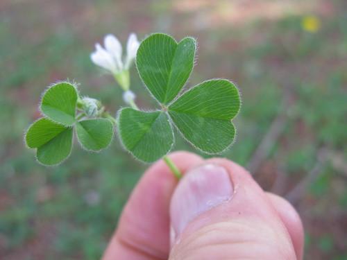 Trifolium subterraneum leaf10 ST | by Macleay Grass Man