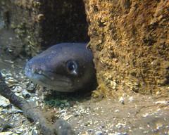 HolderEuropean conger eel. Credit: Dr Leigh Howarth