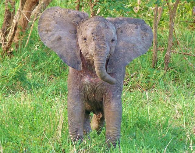 Cría de elefante en el Parque Nacional Kruger (Sudáfrica)