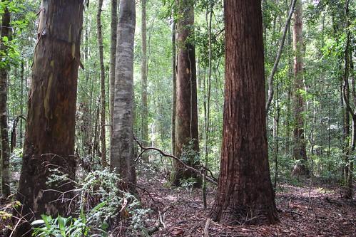 nymboibinderaynationalpark eucalyptussaligna eucalyptusmicrocorys ceratopetalumapetalum normanjollypicnicarea australiasbiggesttrees