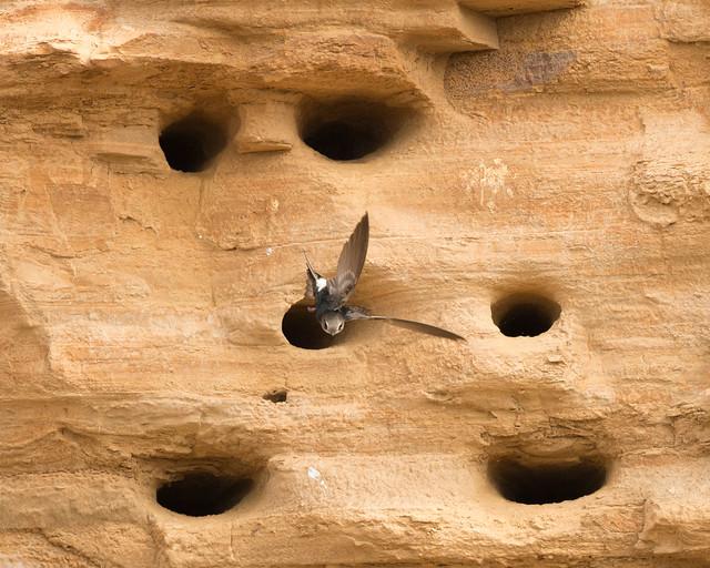 Horus Swift, Apus horus, Turk Mine, Matabeleland, Zimbabwe