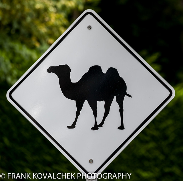 Camels in Canada?