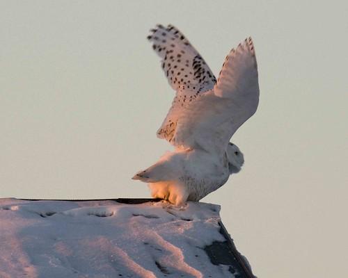 white snow cold owl snowyowl harfang