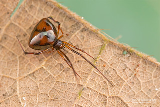 Comb-footed spider (Janula sp.) - DSC_1206