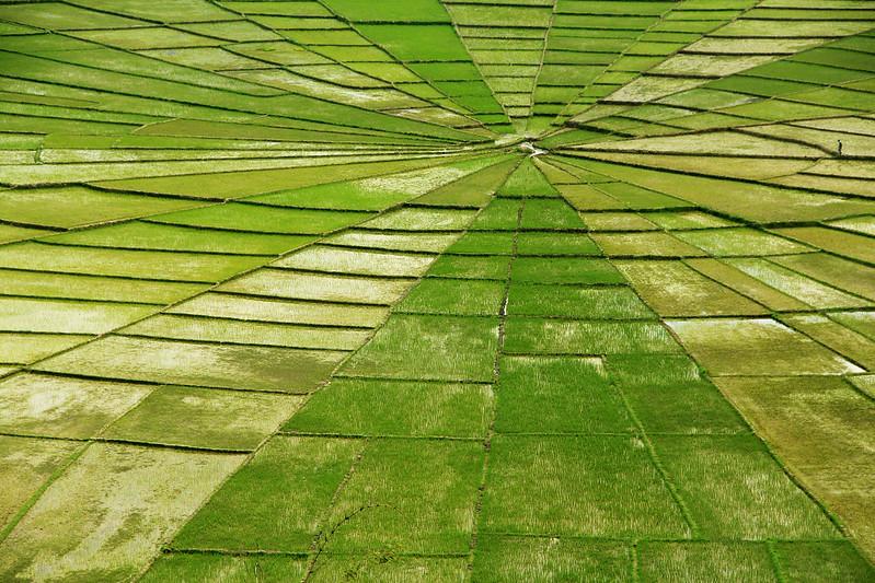 Campos de arroz Manggarai