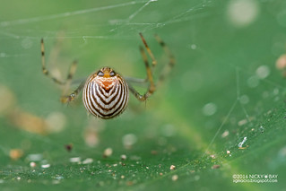 Comb-footed spider (Theridion sp.) - DSC_2278