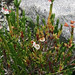 Flickr photo 'J20160707-0015—Cassiope mertensiana—RPBG' by: John Rusk.
