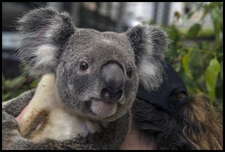 Koala in Brisbane Mall for G20 Reps-01= | by Sheba_Also 16.5 Million Views