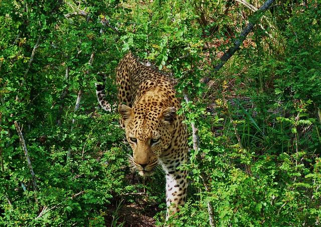 El leopardo es uno de los animales más esquivos entre los BIG FIVE en África
